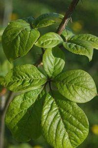 Eleuthero leaves
