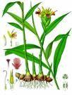 Ginger, plant