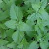 catnipfoliage