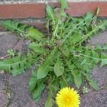Dandilion_plant