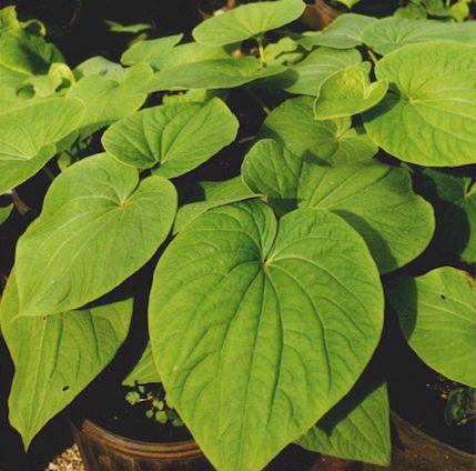 Kava herb