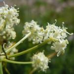 Ligusticum filicinum
