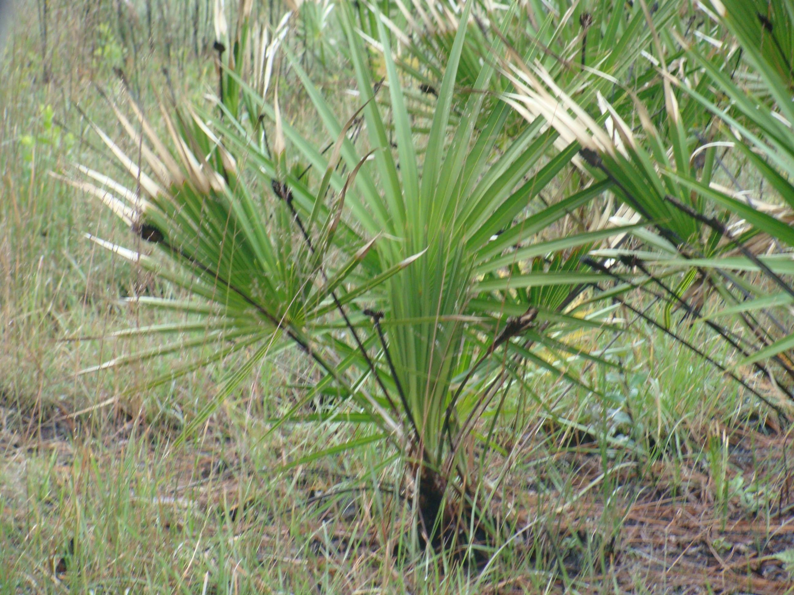 saw palmetto info packet herb news