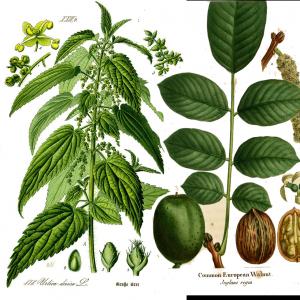 nettle walnut