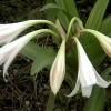 Crinum_latifolium